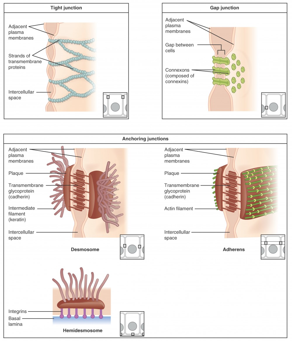These three illustrations each show the edges of two vertical cell membranes. The cell membranes are viewed partially from the side so that the inside edge of the right cell membrane is visible. The upper left image shows a tight junction. The two cell membranes are bound by transmembrane protein strands. The proteins travel the inside edge of the right cell membrane and cross over to the left cell membrane, cinching the two membranes together. The cell membranes are still somewhat separated in between neighboring strands, creating intercellular spaces. The upper right diagram shows a gap junction. The gap junctions are composed of two interlocking connexins, which are round, hollow tubes that extend through the cell membranes. Two connexins, one from the left cell membrane and the other from the right cell membrane, meet between the two cells, forming a connexon. Even at the site of the connexon, there is a small gap between the cell membranes. On the inside edge of the right cell membrane, the gap junction appears as a depression. Three connexins are embedded into the membranes like buttons on a shirt. The bottom images show the three types of anchoring junctions. The left image shows a desmosome. Here, the inside edge of both the right and left cell membranes have brown, round plaques. Each plaque has tentacle-like intermediate filaments (keratin) that extend into each cell's cytoplasm. The two plaques are connected across the intercellular space by several interlocking transmembrane glycoproteins (cadherin). The connected glycoproteins look similar to a zipped-up zipper between the right and left cell membranes. The right image shows an adheren. These are similar to desmosomes, with two plaques on the inside edge of each cell membrane connected across the intercellular space by glycoproteins. However, the plaques do not contain the tentacle-like intermediate filaments branching into the cytoplasm. Instead, the plaques are ribbed with green actin filaments. The filaments are neatly arranged in parallel, horizontal strands on the surface of the plaque facing the cytoplasm. The bottom image shows a hemidesmosome. Rather than located between two neighboring cells, the hemidesmosome is located between the bottom of a cell and the basement membrane. A hemidesmosome contains a single plaque on the inside edge of the cell membrane. Like the desmosome, intermediate filaments project from the plaque into the cytoplasm. The opposite side of the plaque has purple, knob-shaped integrins extending out to the basal lamina of the basement membrane.