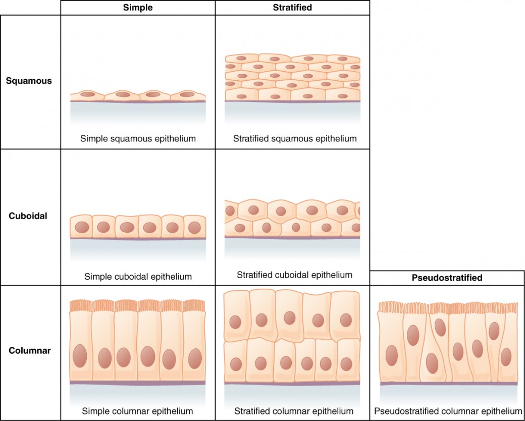 Anatomy Of Epithelial Tissue Images - human body anatomy