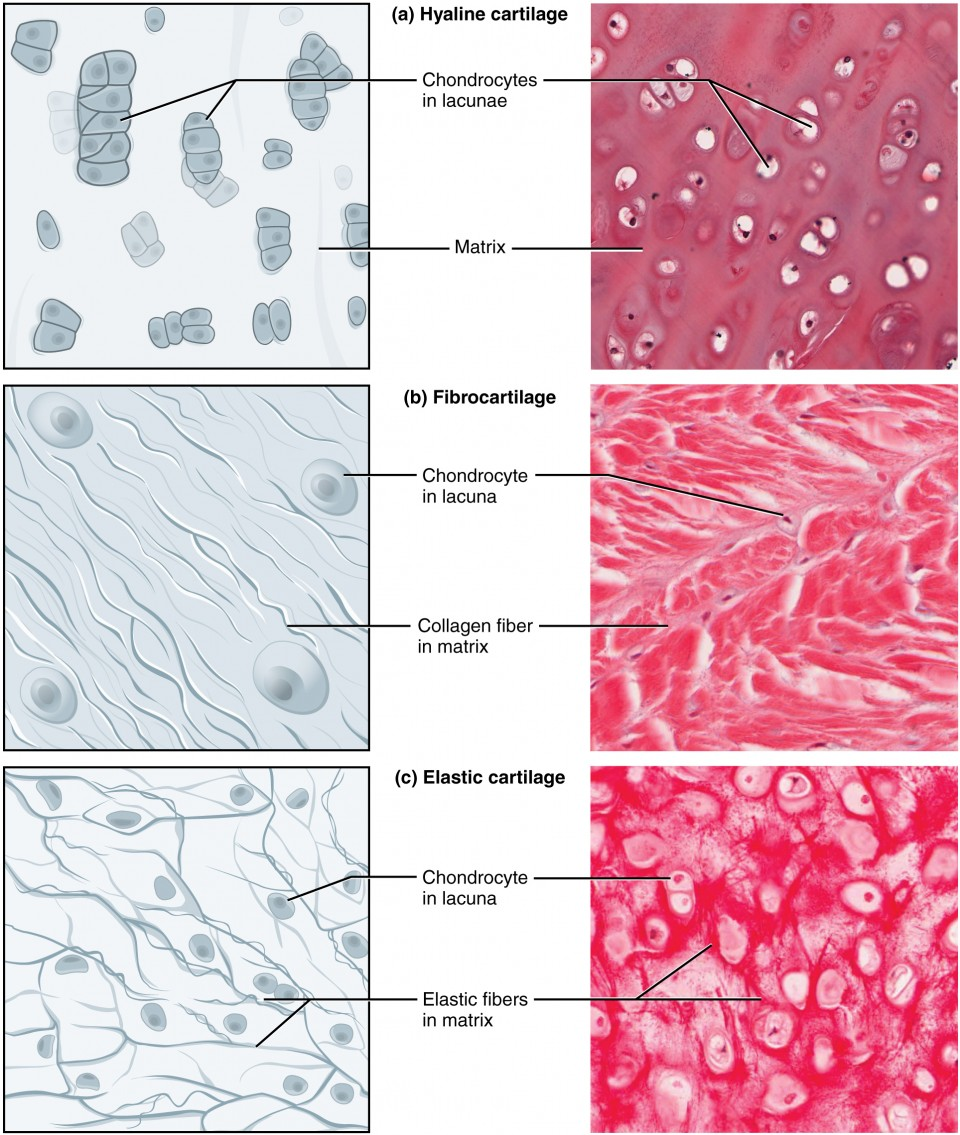 Connective Tissue Supports And Protects