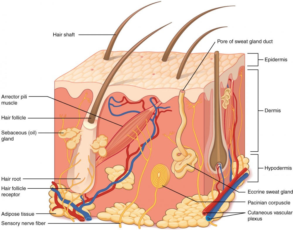 Layers of the Skin – Integumentary System Worksheets