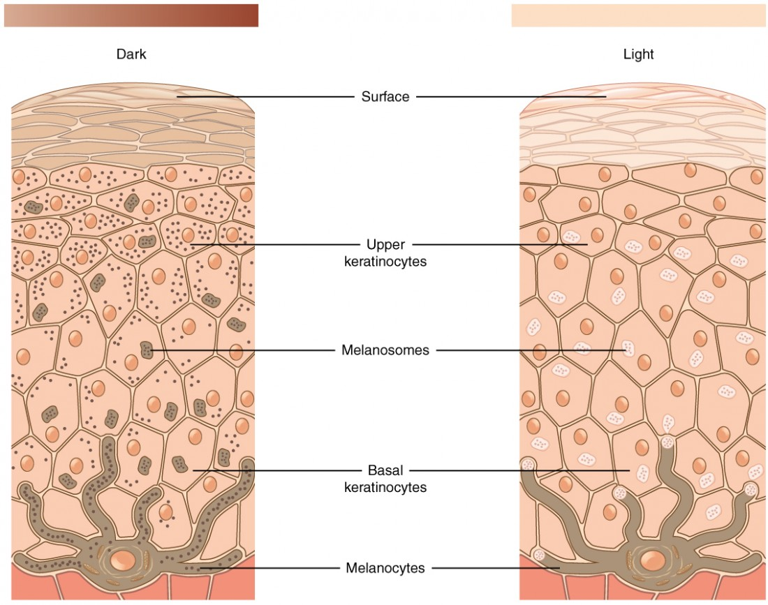 Pigmentation | Anatomy and Physiology