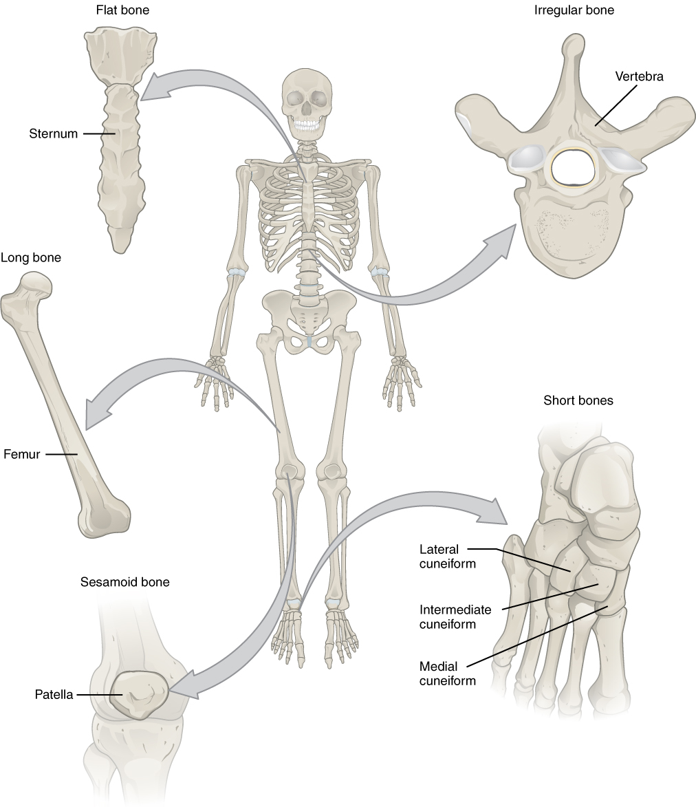 Bone Classification And Structure Anatomy And Physiology