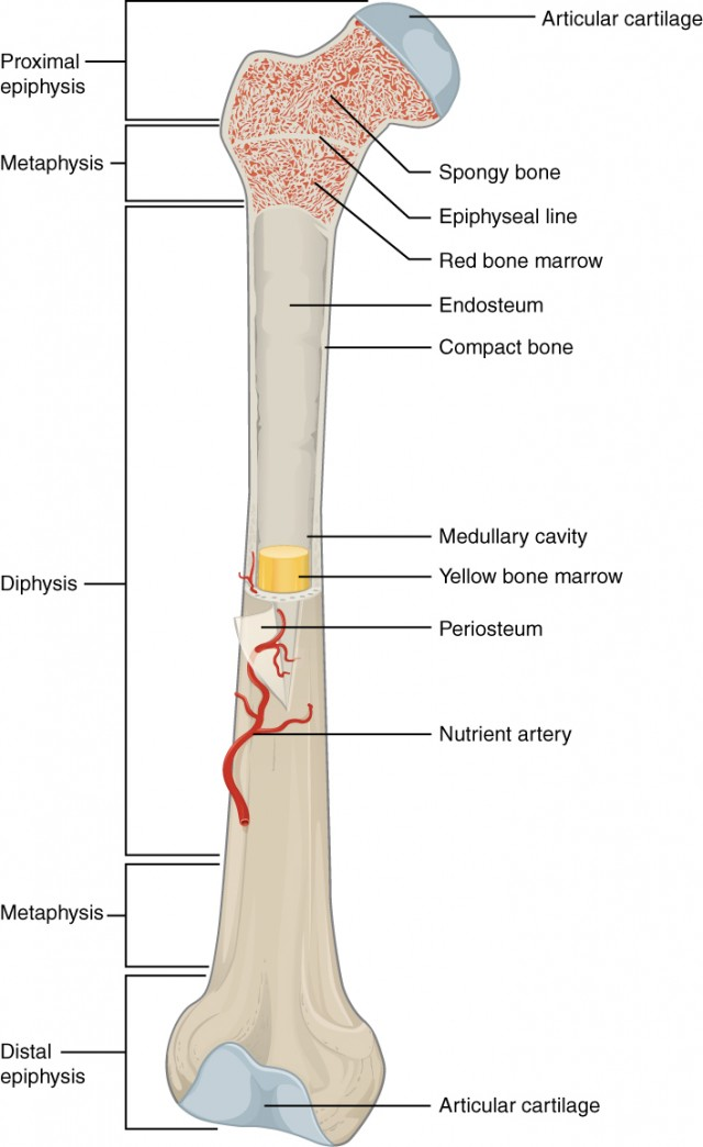 split femur diagram bone structure anatomy and physiology i cow femur diagram