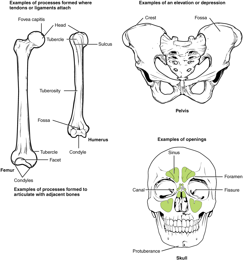 Bone Structure | Anatomy and Physiology I