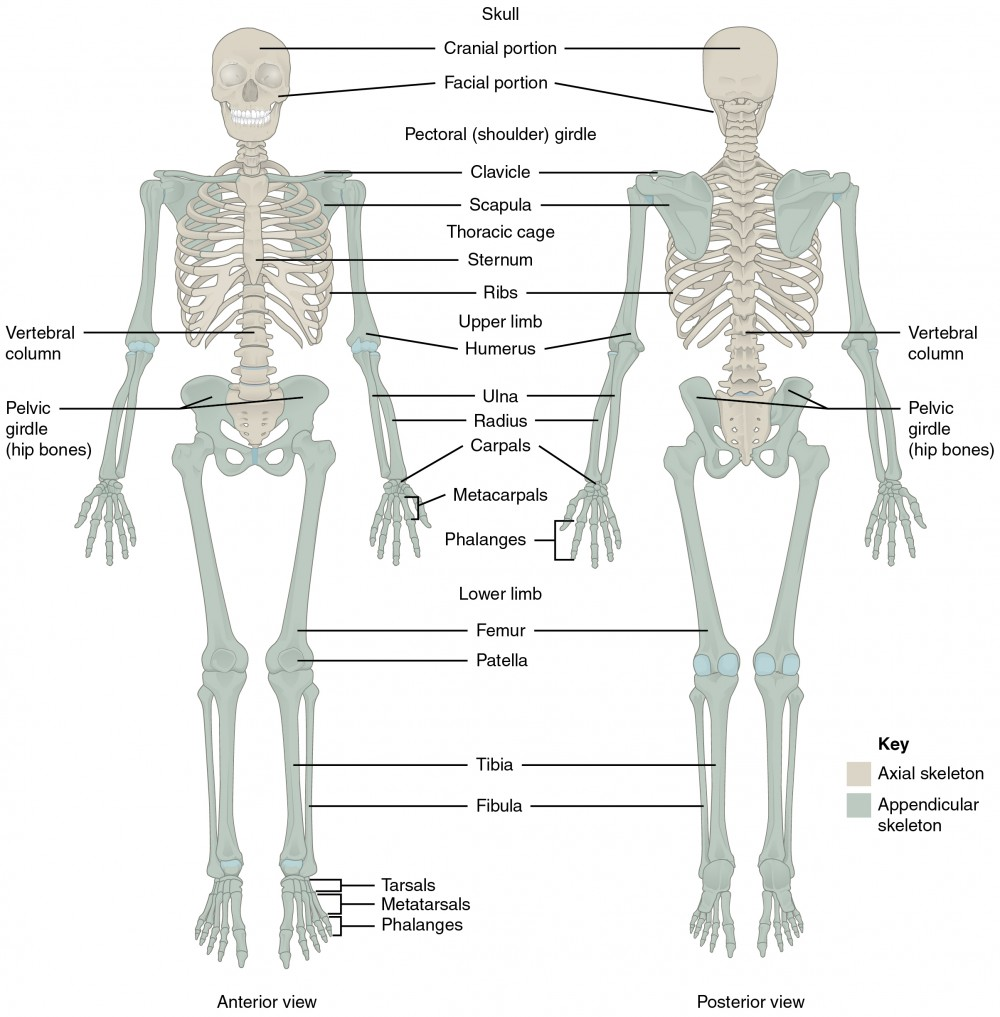 This diagram shows the human skeleton and identifies the major bones. The left panel shows the anterior view (from the front) and the right panel shows the posterior view (from the back).