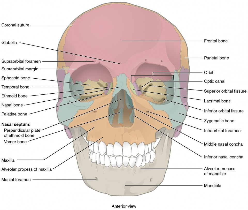 The Skull | Anatomy and Physiology