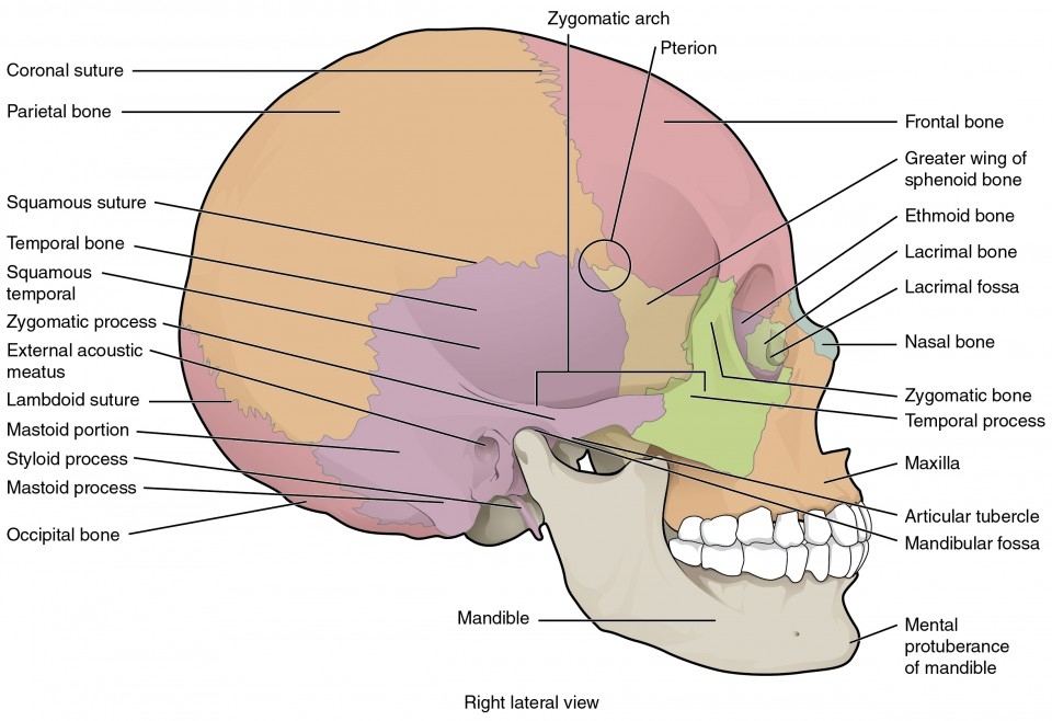 the skull | anatomy and physiology i, Human Body