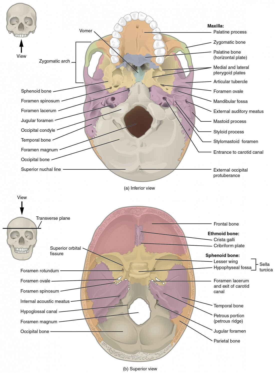 The Skull | Anatomy and Physiology I