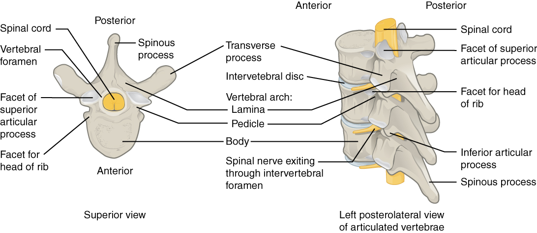 This image shows the detailed structure of each vertebra. The left panel shows the superior view of the vertebra and the right panel shows the left posterolateral view.
