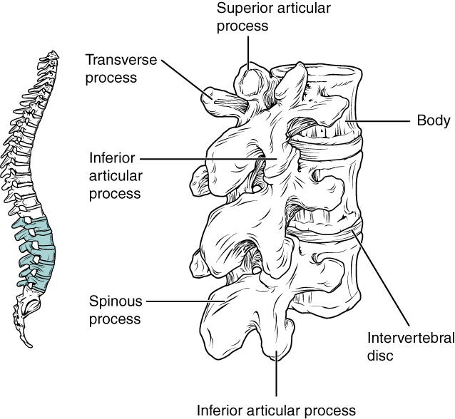 Worksheets Vertebral Column Worksheet the vertebral column anatomy and physiology i this image shows location structure of lumbar vertebrae left panel shows