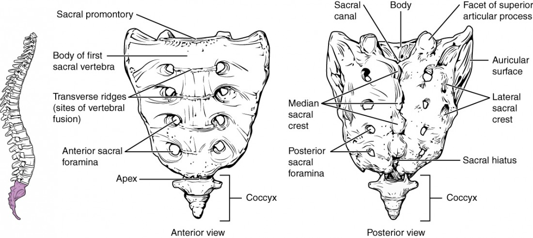 The Vertebral Column | Anatomy and Physiology
