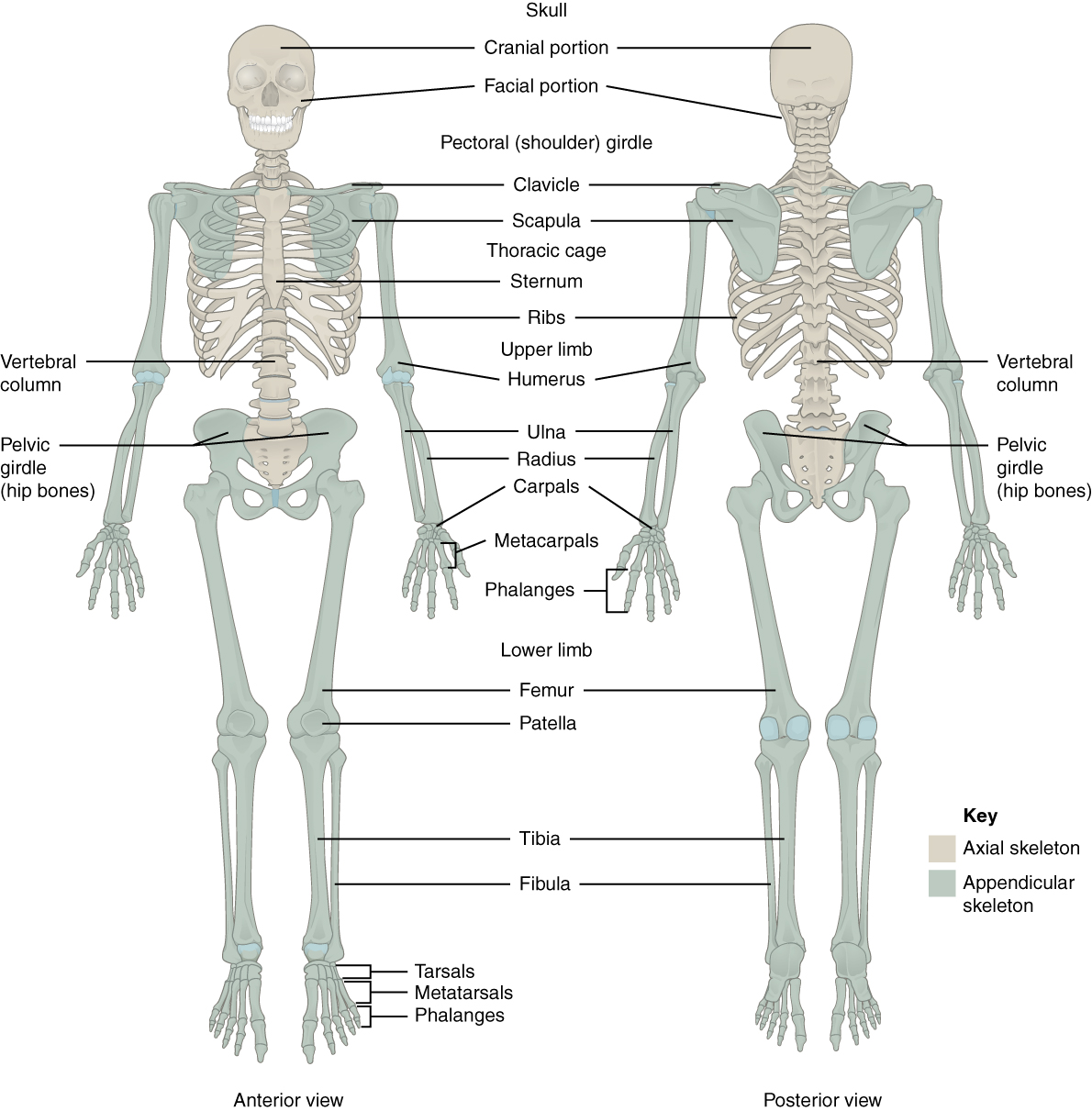 Worksheets Appendicular Skeleton Worksheet introduction to the appendicular skeleton anatomy and physiology i this figure shows human left panel anterior view and