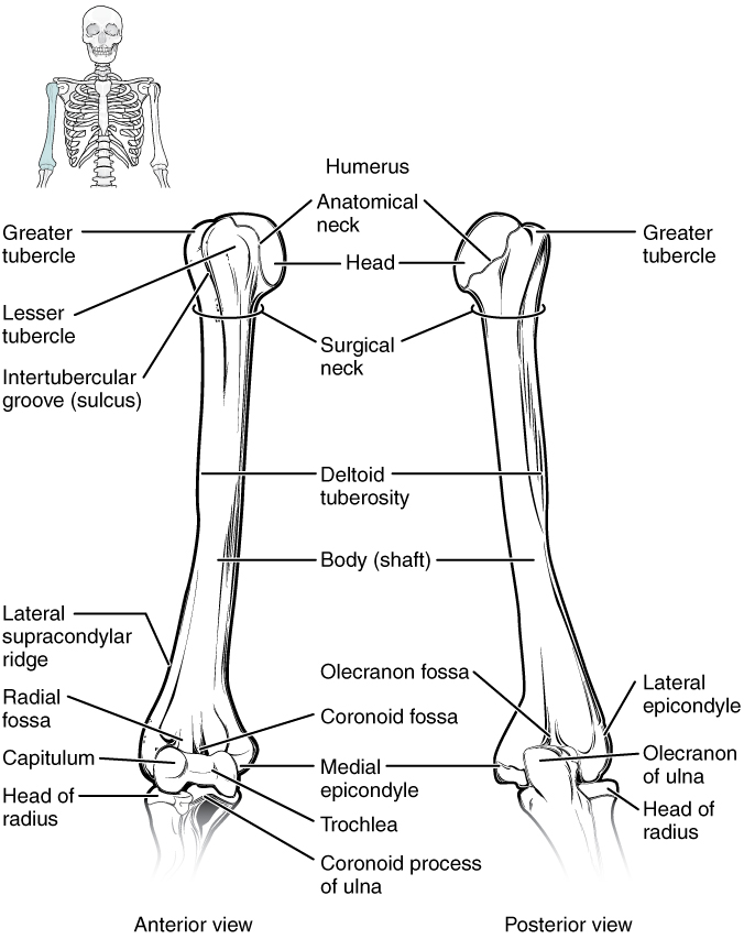 Bones of the Upper Limb | Anatomy and Physiology
