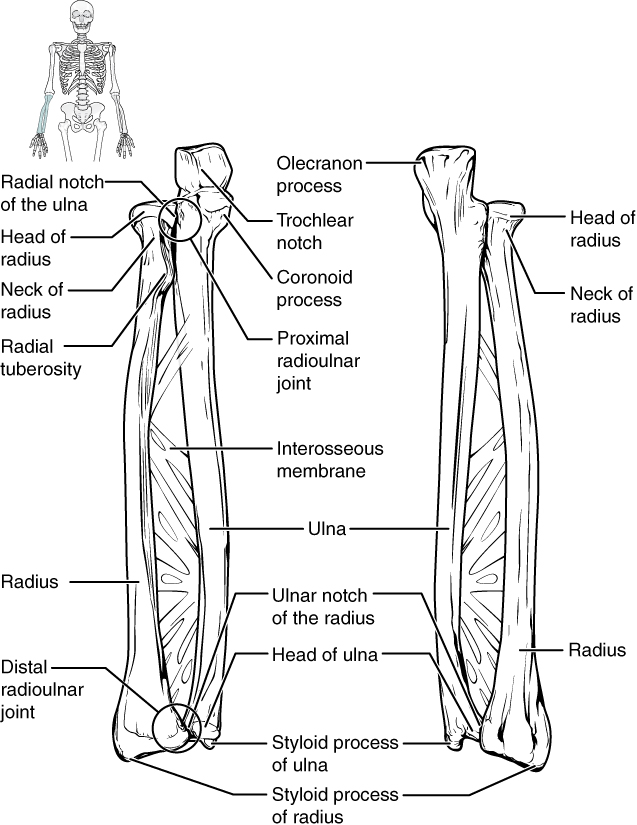 Diagram Of Lower Arm Bones - Complete Wiring Diagrams •