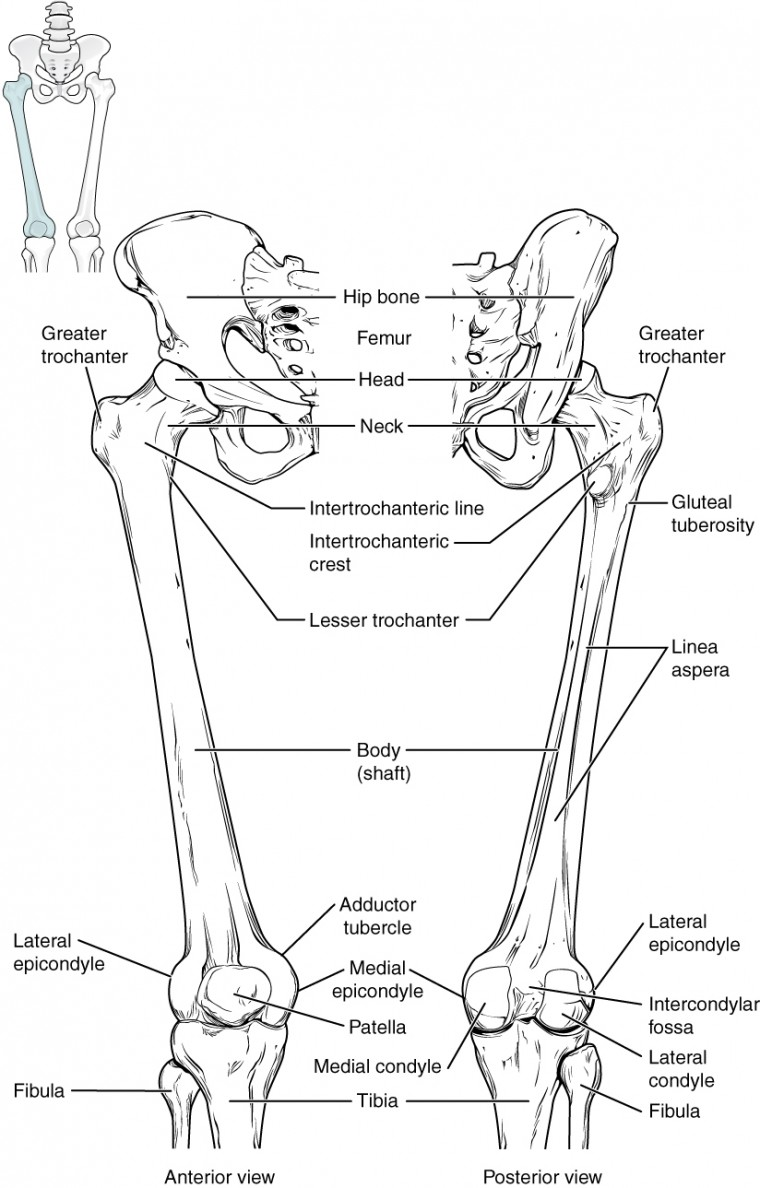 worksheet Joints Worksheet bones of the lower limb anatomy and physiology i this diagram shows femur patella left panel shows