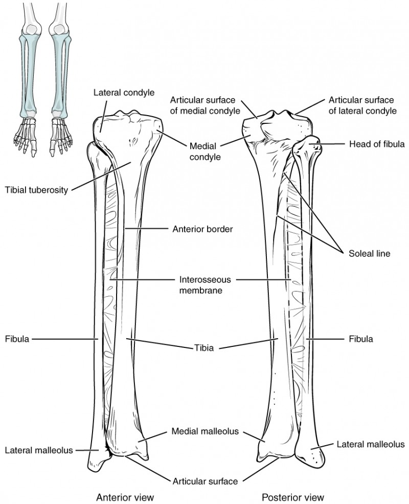 Bones of the Lower Limb | Anatomy and Physiology