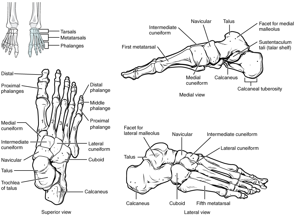 Bones Of The Lower Limb on foot and ankle diagram