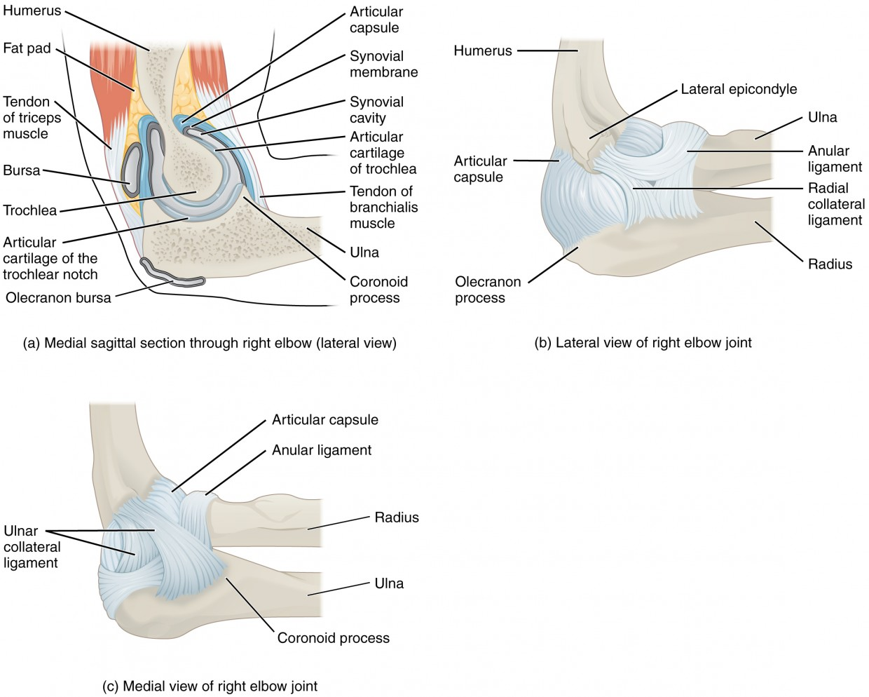 Anatomy of selected synovial joints anatomy and physiology i this figure shows the structure of the elbow joint the top left panel shows robcynllc Gallery