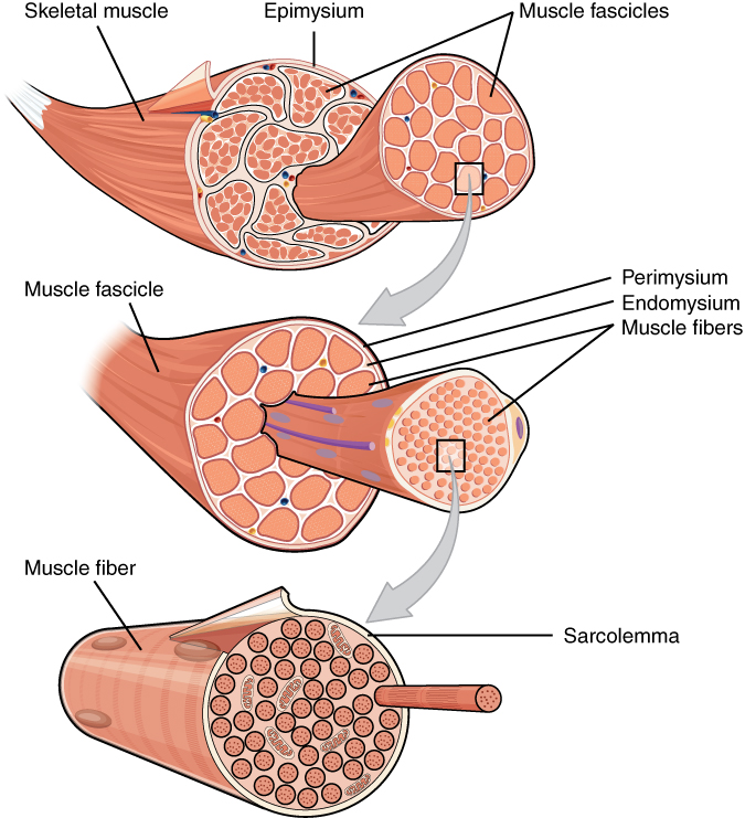 Skeletal Muscle Anatomy And Physiology
