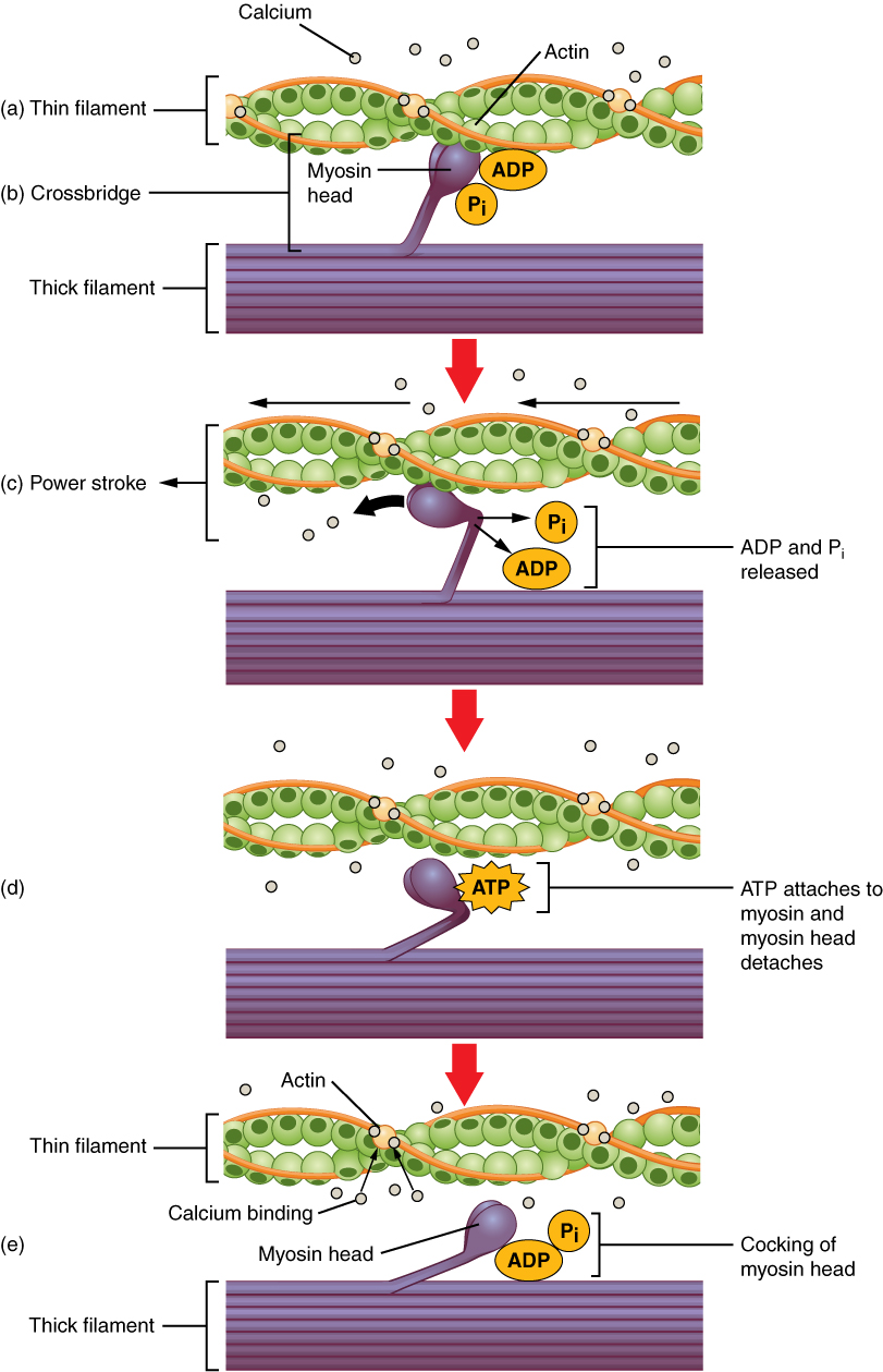 Muscle Fiber Contraction and Relaxation | Anatomy and Physiology