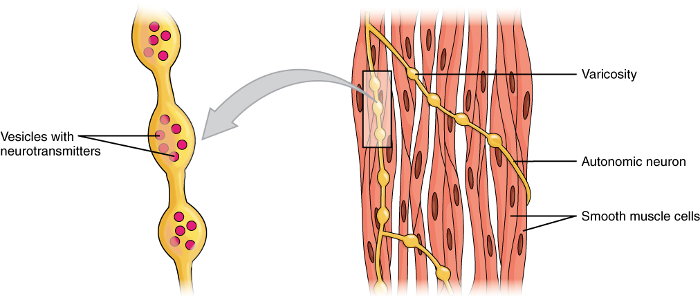 Smooth Muscle | Anatomy and Physiology I