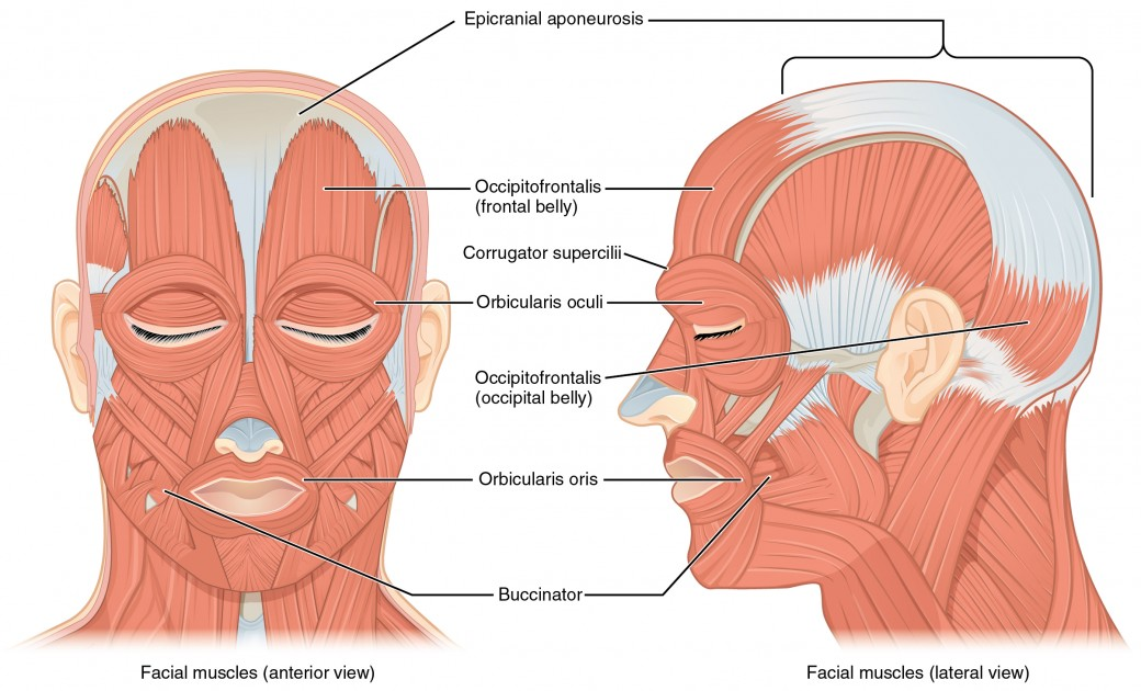 Axial muscles of the head neck and back anatomy and physiology i the left panel in this figure shows the anterior view of the facial muscles and ccuart