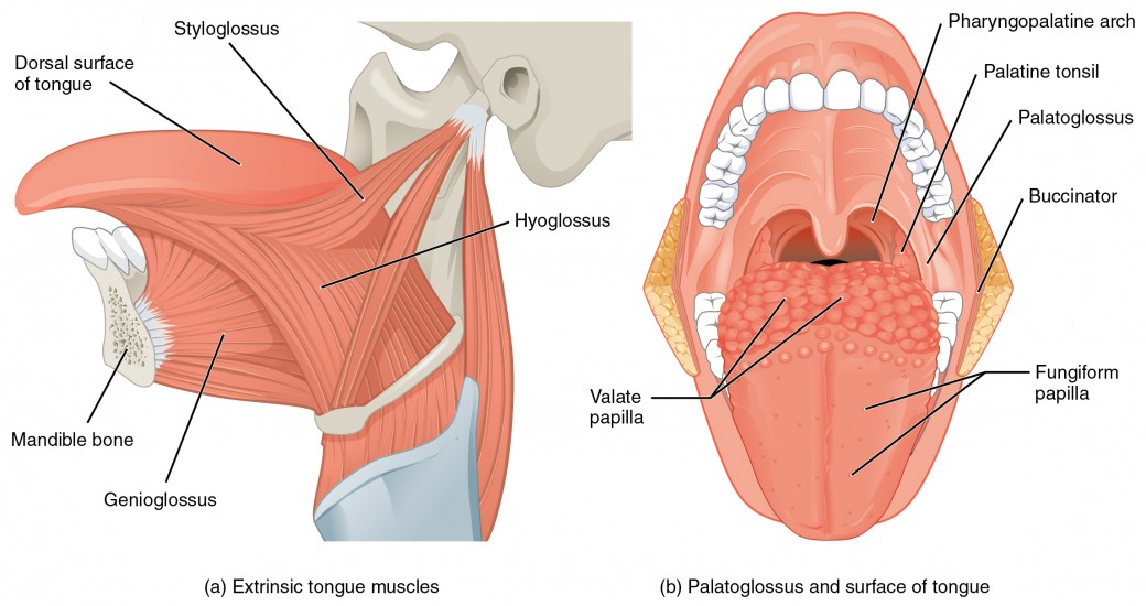 Jaw Anatomy Muscles Diagram - Schematics Wiring Diagrams •
