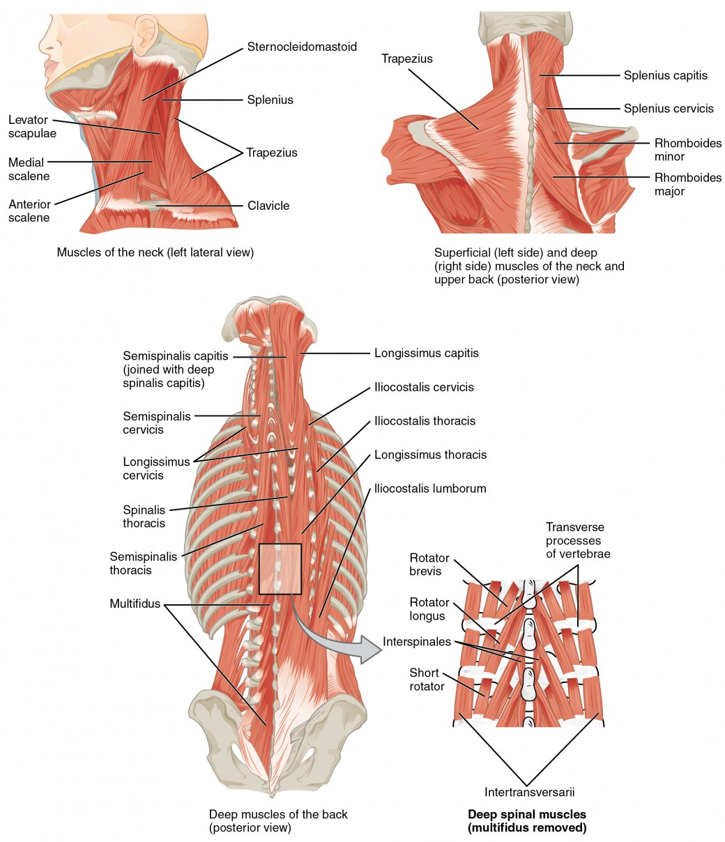 Axial Muscles Of The Head Neck And Back Anatomy And Physiology I