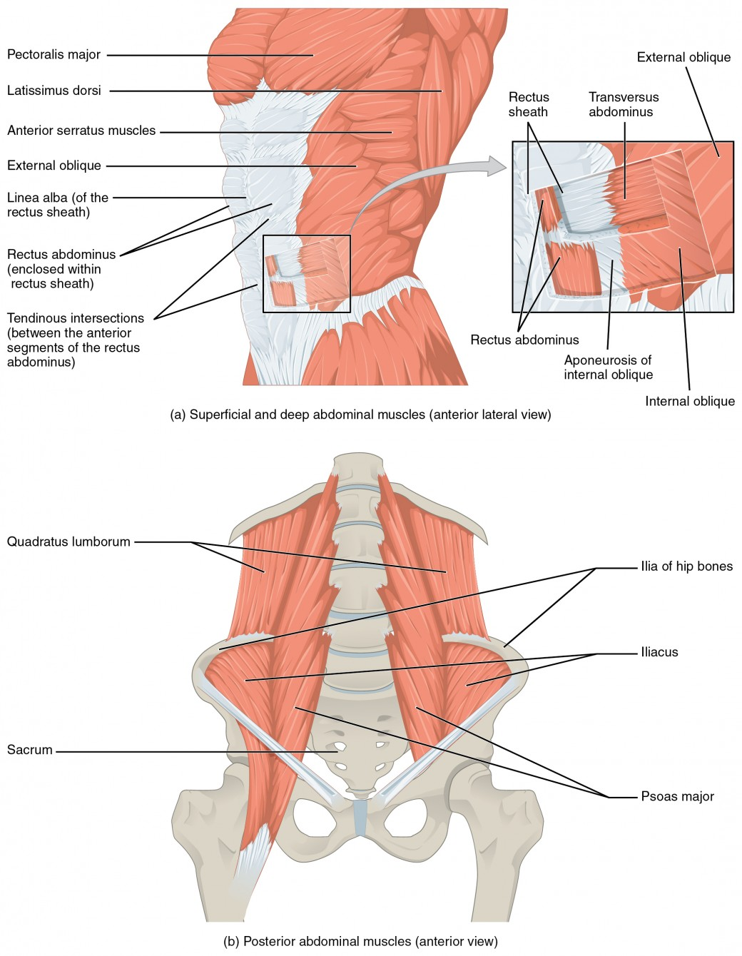 Axial Muscles of the Abdominal Wall and Thorax | Anatomy and Physiology
