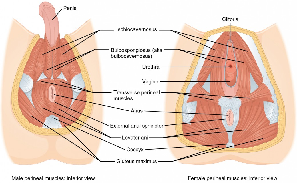 3d Perineum Diagram - Wiring Diagram •