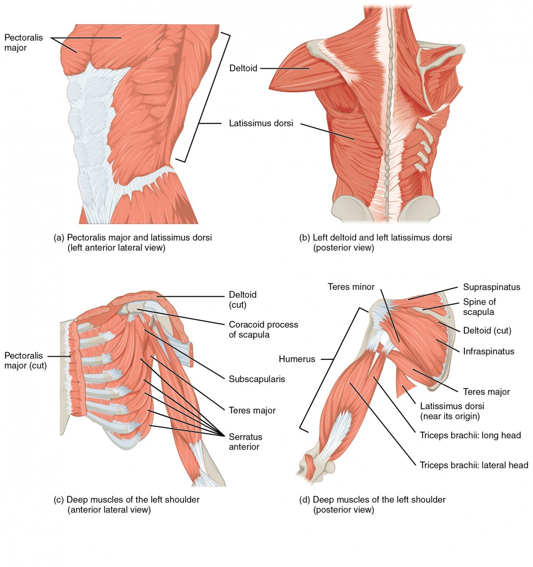 Muscles of the Pectoral Girdle and Upper Limbs | Anatomy and Physiology