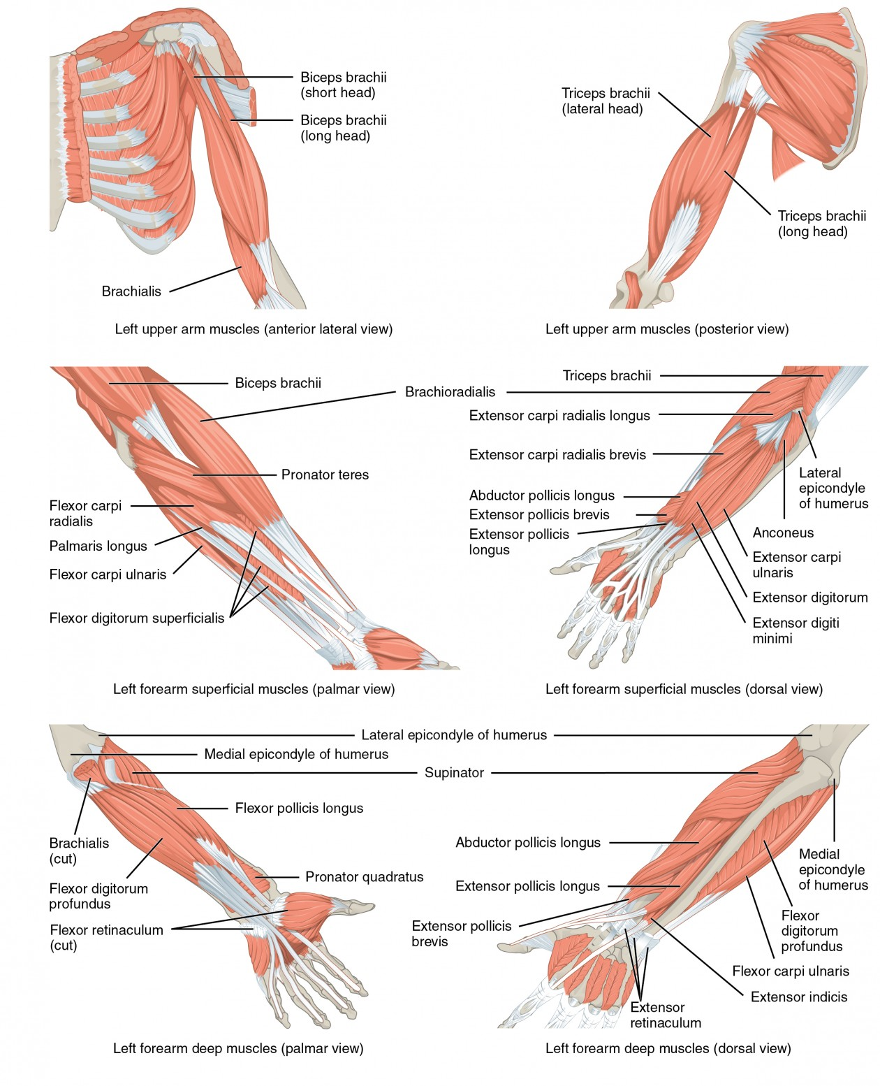 Muscles of the Pectoral Girdle and Upper Limbs | Anatomy and ...