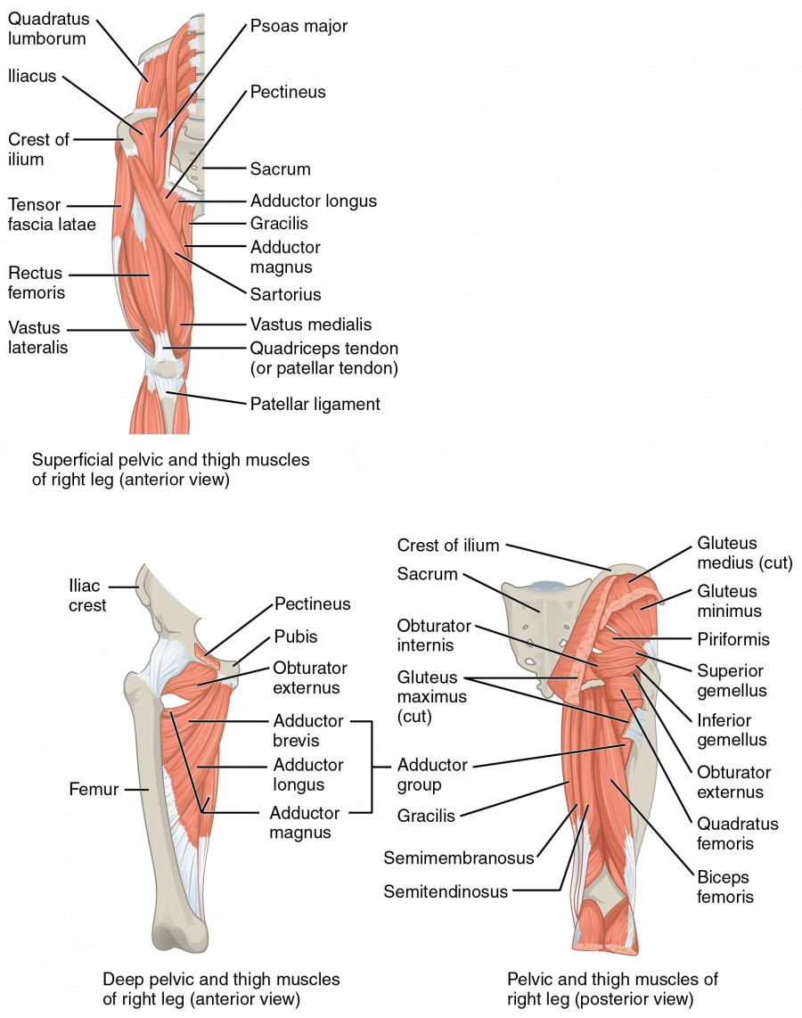 Appendicular Muscles of the Pelvic Girdle and Lower Limbs | Anatomy ...