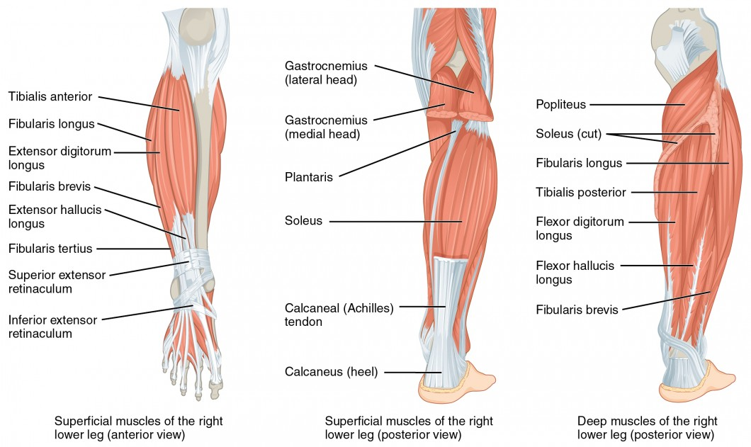Lower Body Front Muscles Diagram Web About Wiring Diagram