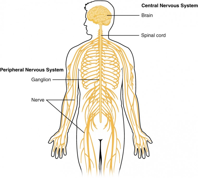 Basic structure and function of the nervous system anatomy and this diagram shows a silhouette of a human highlighting the nervous system the central nervous ccuart Choice Image
