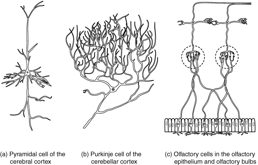 Nervous tissue anatomy and physiology i this diagram contains three black and white drawings of more specialized nerve cells part a ccuart Gallery