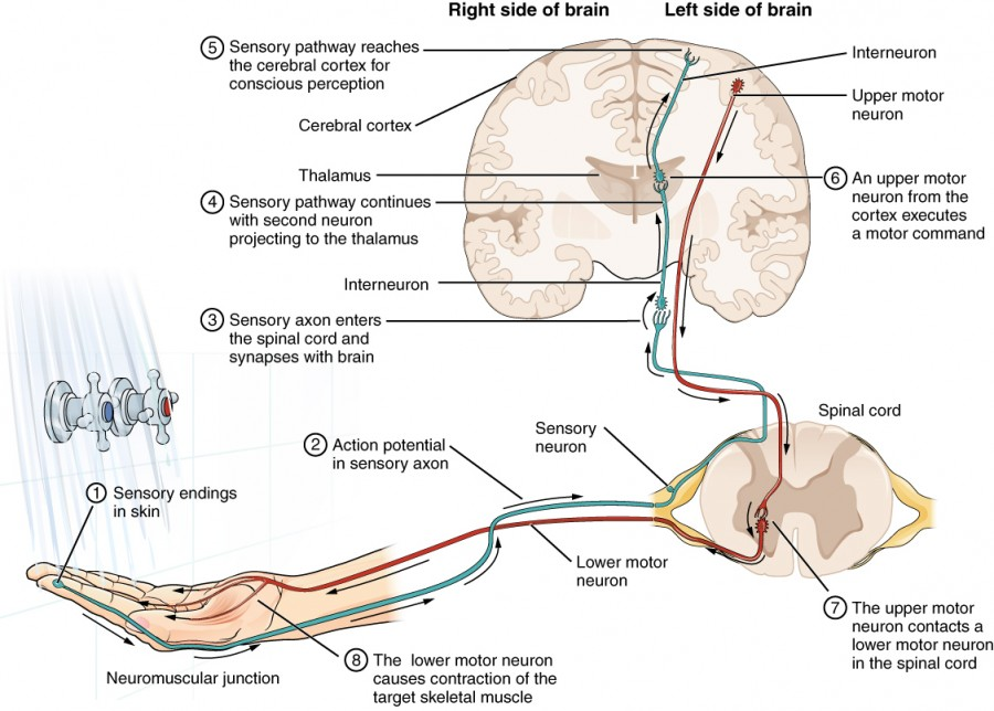 The Function Of Nervous Tissue Anatomy And Physiology I