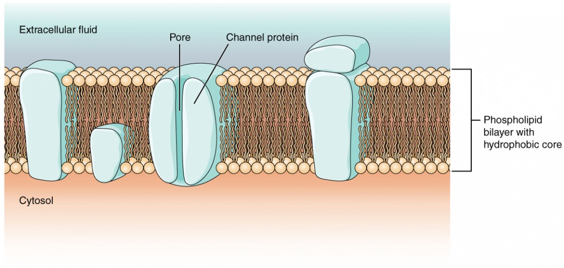 Build A Membrane : The action potential anatomy and physiology i