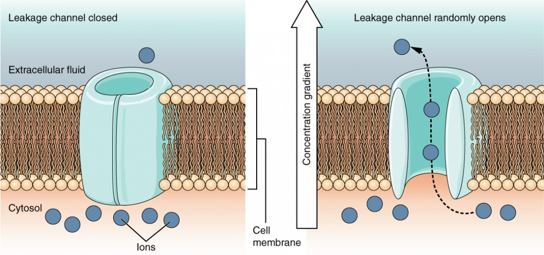 This is a two part diagram. Both diagrams show a leakage channel embedded in the lipid membrane bilayer. The leakage channel is cylindrical with a large, central opening. In the first diagram there are several ions in the cytosol but only one ion in the extracellular fluid. No ions are moving through the leakage channel because the channel is closed. In the second diagram, the leakage channel randomly opens, allowing two ions to travel through the channel, down their concentration gradient, and out into the extracellular fluid.