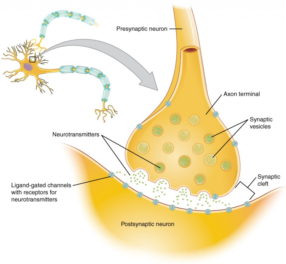 Communication between neurons anatomy and physiology i this diagram shows a postsynaptic neuron an axon from a presynaptic neuron is synapsing with ccuart Image collections
