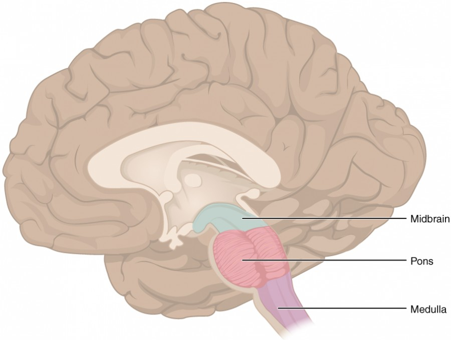This figure shows the location of the midbrain, pons and the medulla in the brain.