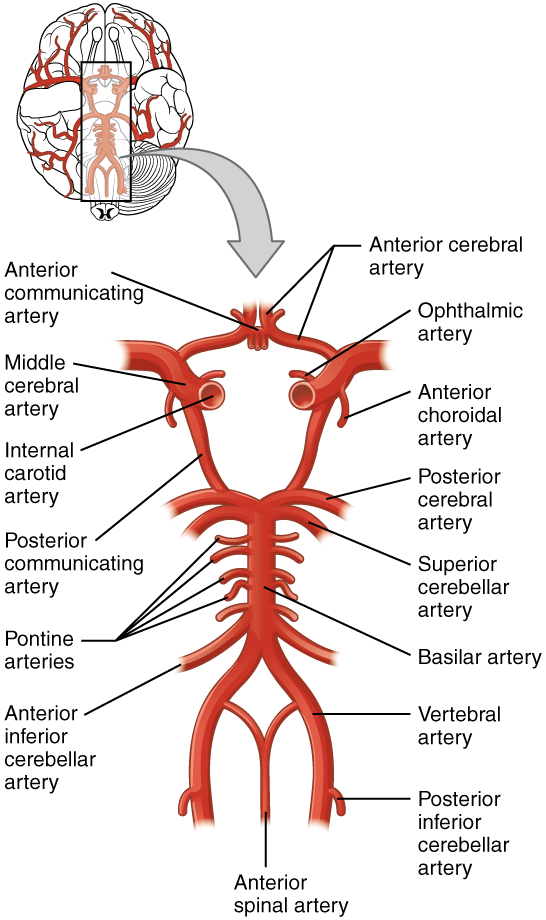 This diagram shows a series of interconnected blood vessels and capillaries.