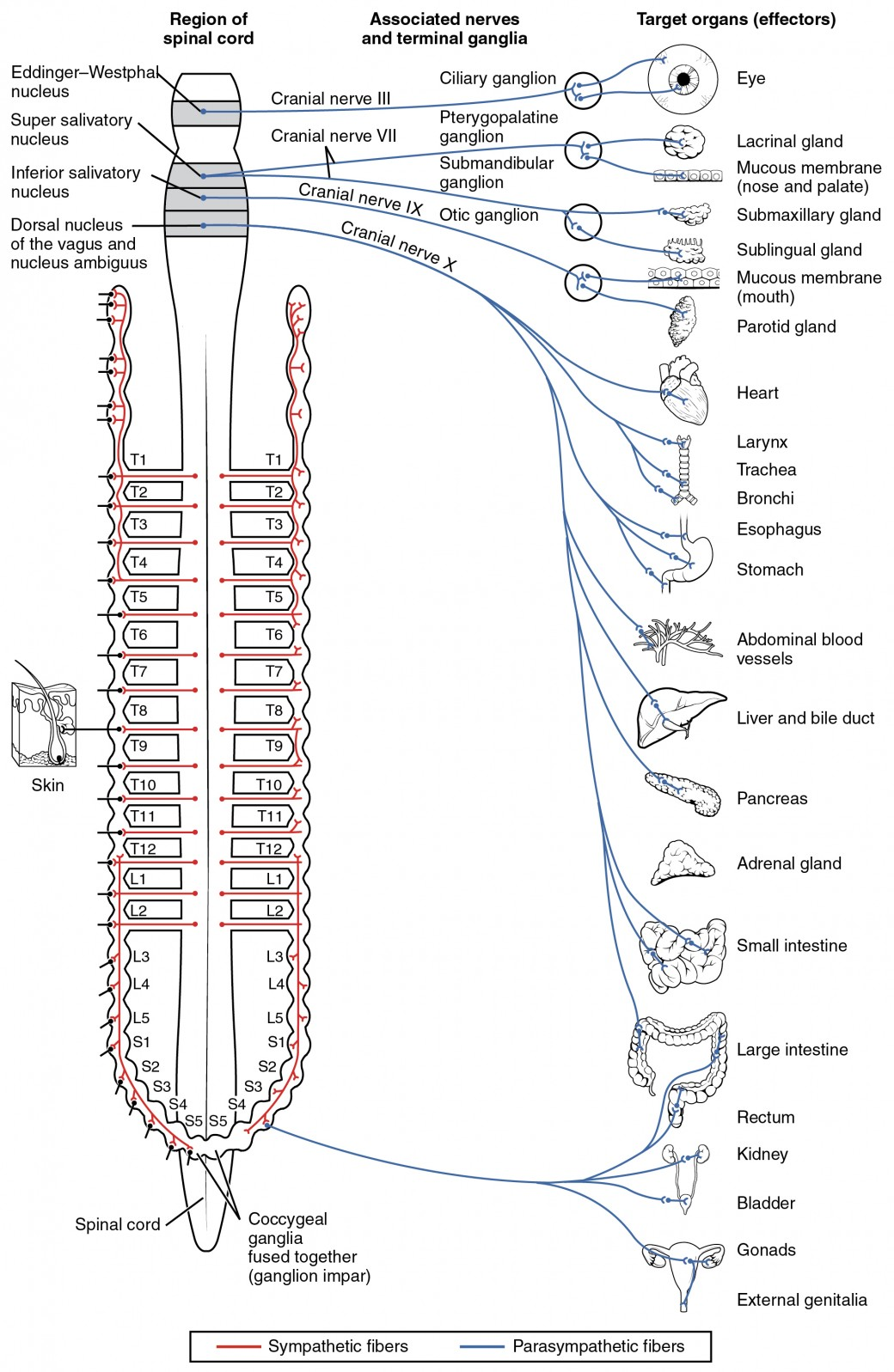 worksheet Central Nervous System Worksheet divisions of the autonomic nervous system anatomy and physiology i this diagram shows spinal cord has different central nerves emerging from it the