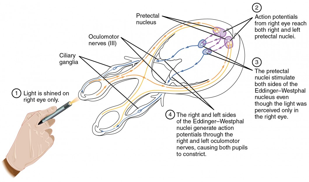 this diagram shows the connections between the different nerves and  pathways in the eyes  a