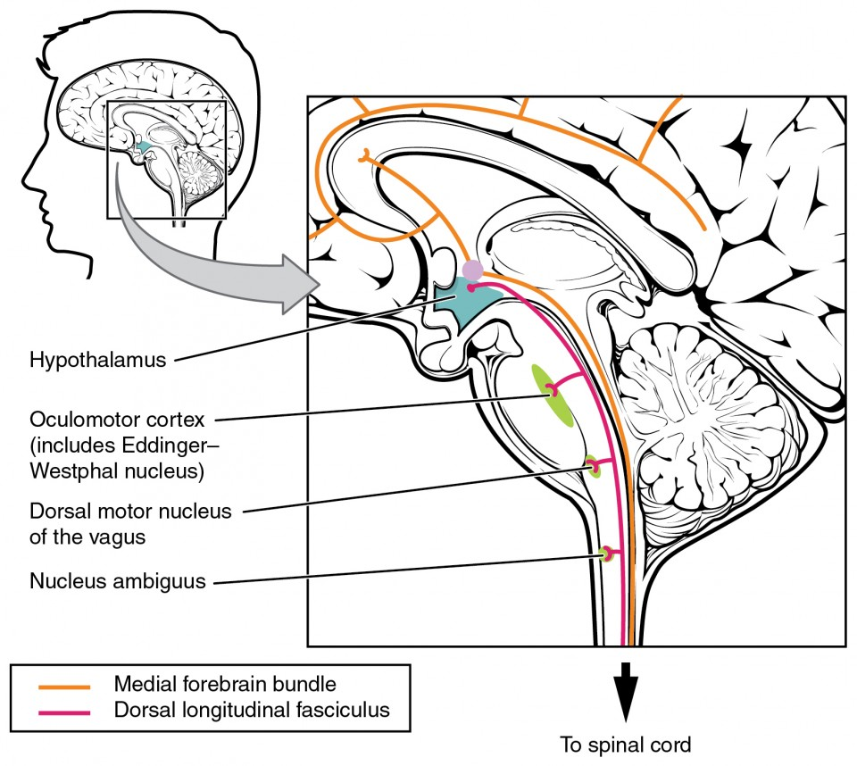 This figure shows the human brain on the left panel, and a magnified image shows the location of the medial forebrain bundle and the dorsal longitudinal fasciculus in the brain.
