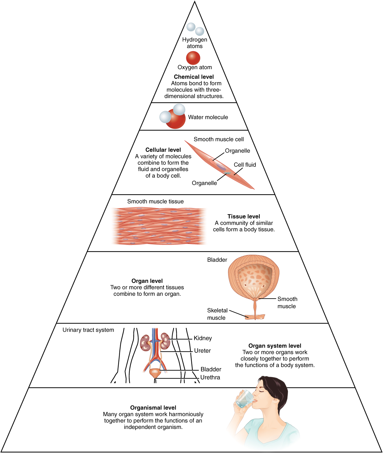 Worksheets Levels Of Organization Worksheet structural organization of the human body anatomy and physiology i this illustration shows biological as a pyramid chemical level is at apex