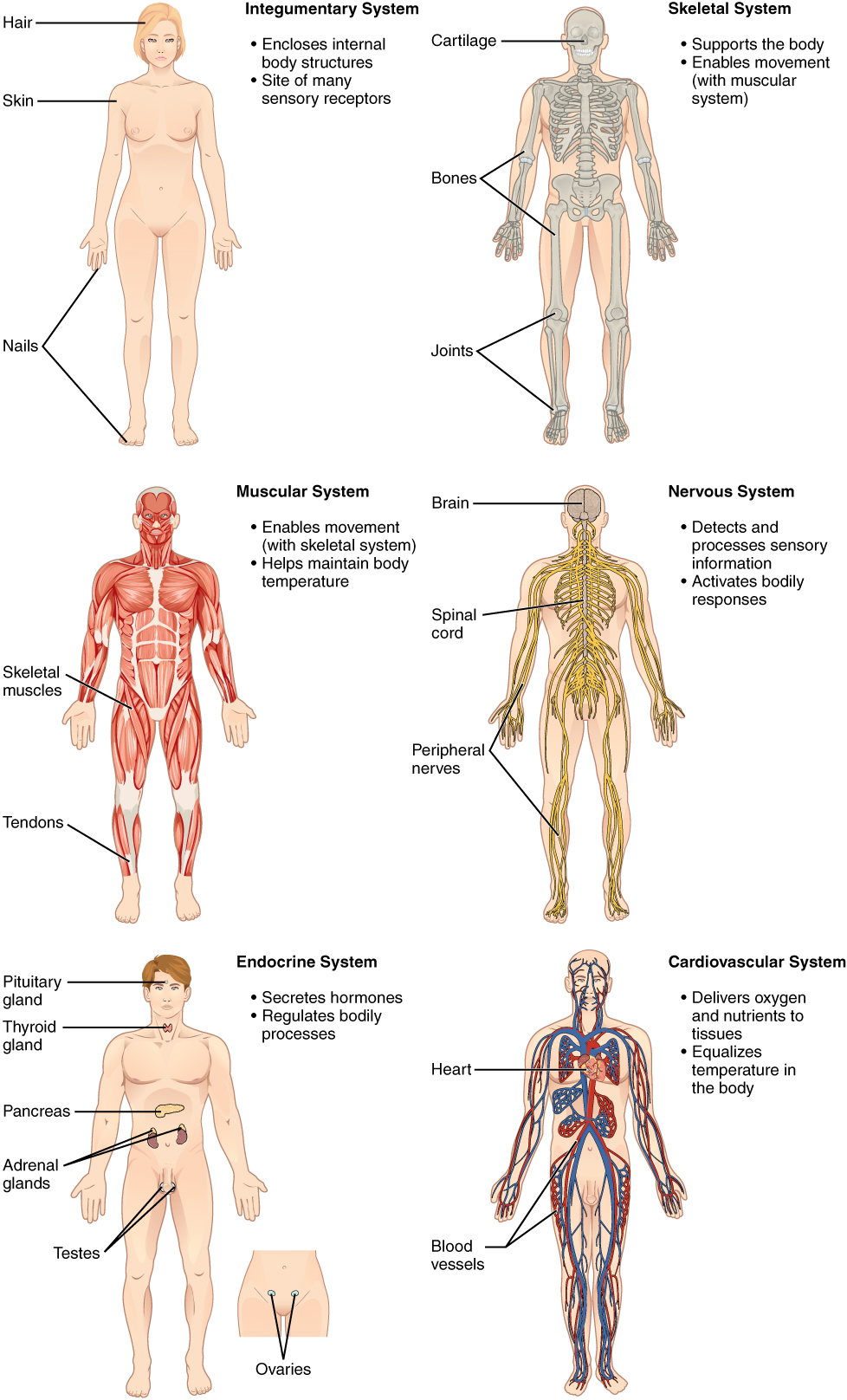 Structural Organization Of The Human Body Biology Of Aging