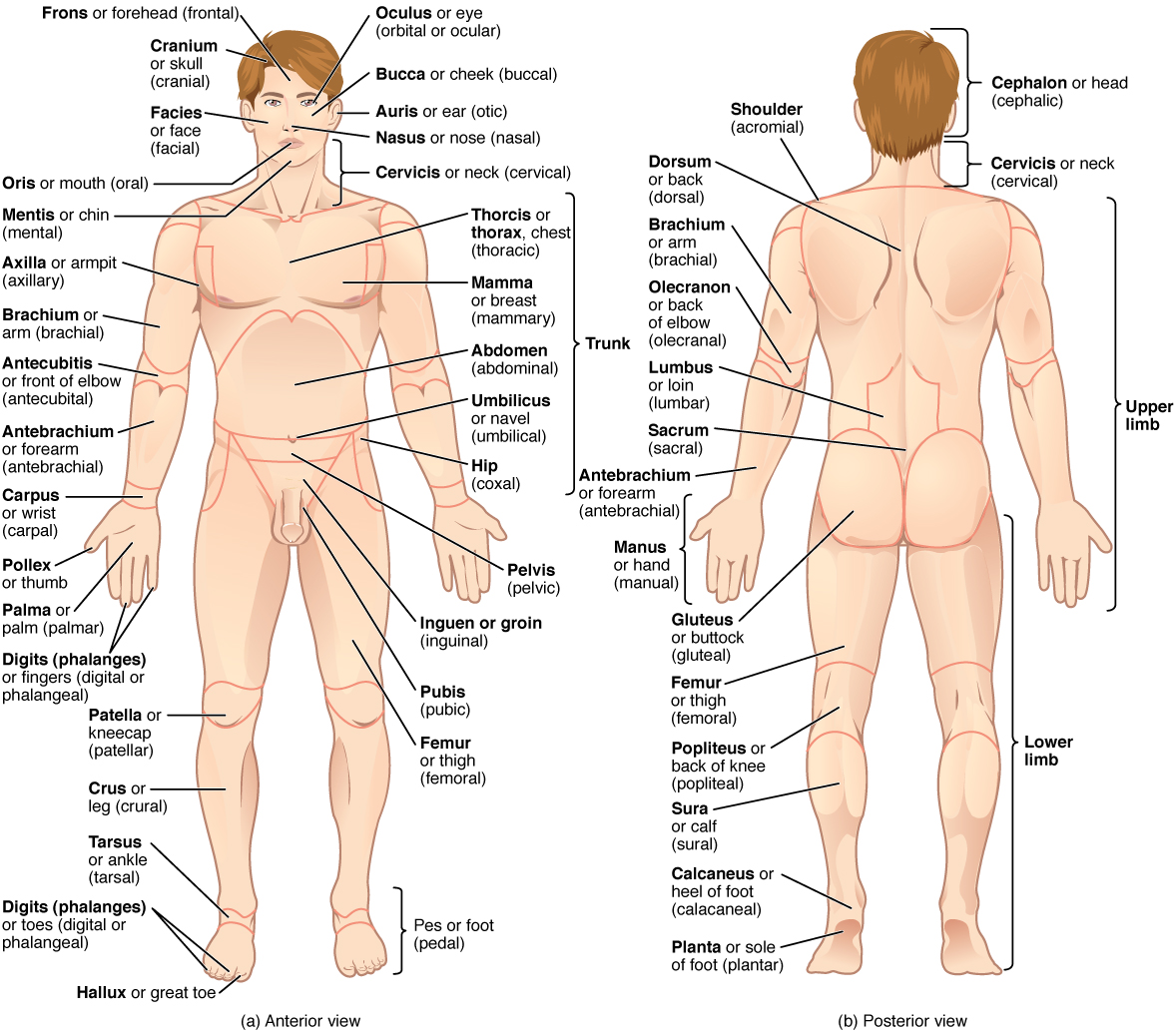 worksheet The Human Body An Orientation Worksheet Answers anatomical terminology anatomy and physiology i this illustration shows an anterior posterior view of the human body cranial region