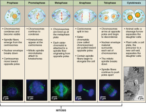0331_Stages_of _Mitosis_and_Cytokinesis