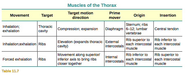 Axial Muscles Of The Abdominal Wall And Thorax Anatomy